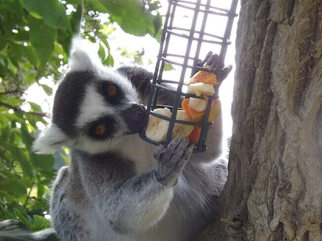 Lemur 1 Small