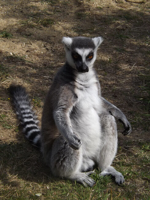 Lemur 2small